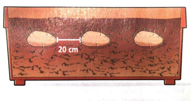 Interrare la patata germogliata in un vaso con una profondità di 60 cm. Se le patate sono troppo grandi le si tagli in più pezzi prima di interrarle. Annaffiare bene il vaso durante il periodo di sviluppo delle piante. Presto ci saranno nuove patate.