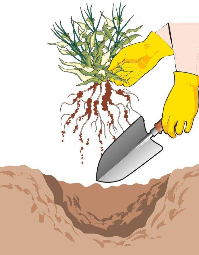 2. Con l'aiuto di una paletta, estirpare la pianta da sostituire eliminando ogni residuo anche dell'apparato radicale.