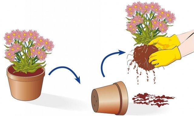 4. Estrarre la pianta dal vaso di acquisto e districare con le mani il pane radicale.