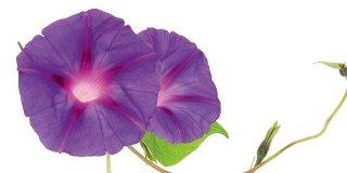 Ipomea purpurea viola