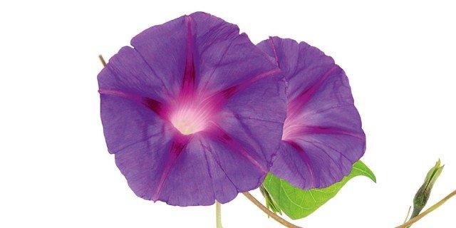 Ipomea purpurea: rampicante a crescita rapida