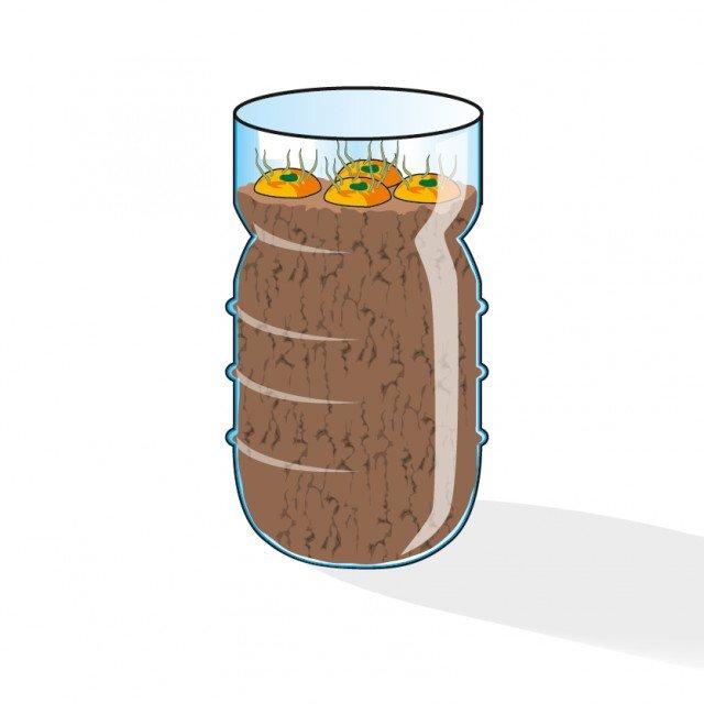 4. Tagliare la parte superiore delle bottiglie di plastica e riempirle di terriccio leggero da semina. Le rondelle vanno inserite nei contenitori e premute nel terriccio in modo da lasciare all'aria solo la parte germogliata.