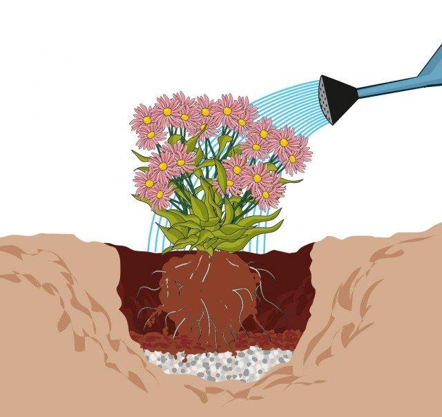 5. Alloggiare la pianta nella buca: il colletto della pianta deve essere alla stessa altezza del terreno. Riempire gli spazi vuoti con terriccio universale.