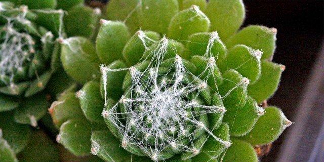 Sempervivum arachnoideum, semprevivo ragnateloso