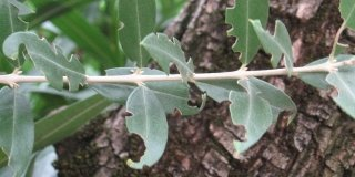 oziorrinco su olivo