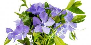 Pervinca: fiori blu per coprire i terreni incolti