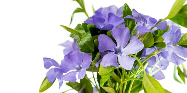Pervinca fiori blu per coprire i terreni incolti cose for Pervinca pianta