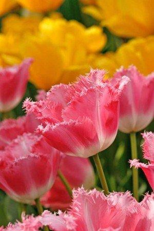 Tulipano-Francy-frills