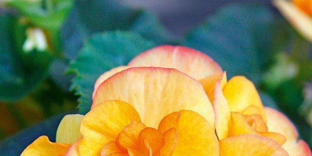 Begonia tuberhybrida, Begonia tuberosa