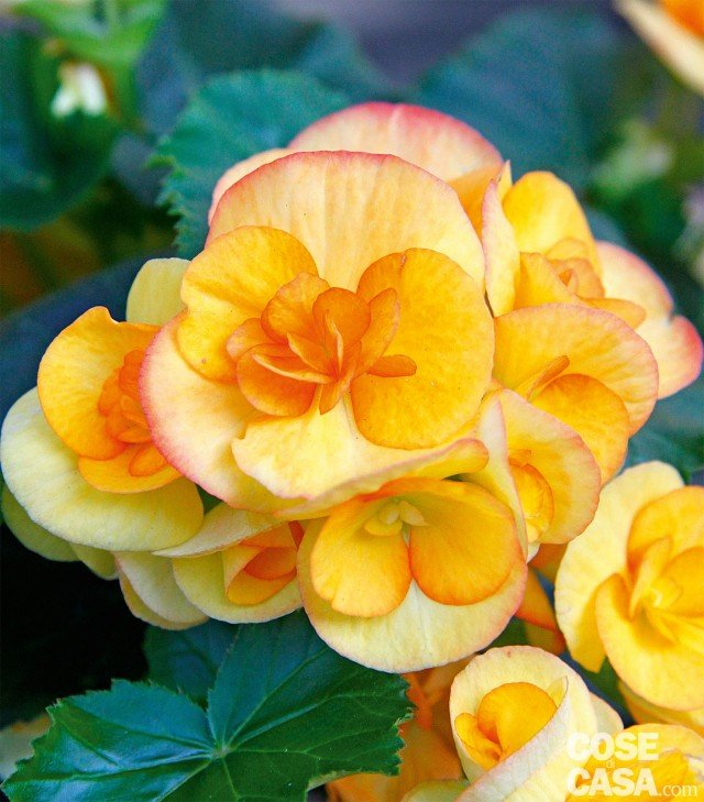 begonia-tuberosa