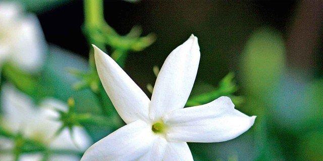Jasminum – Gelsomino vero