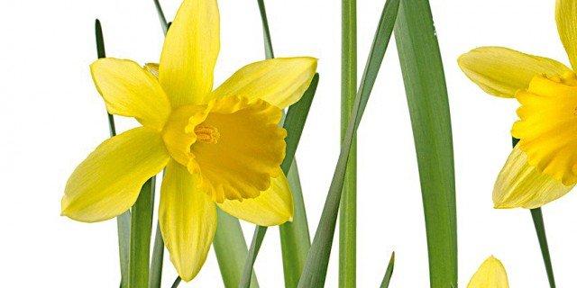 Come far fiorire i narcisi in inverno