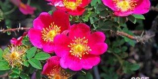 rosa da piantare a novembre