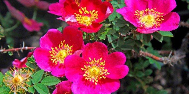 Le rose da piantare adesso