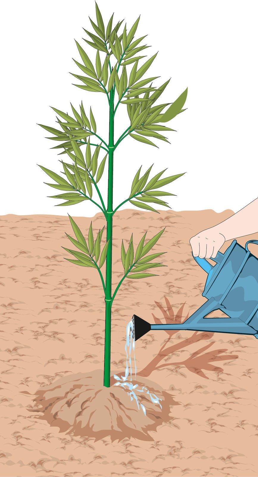 Il bamb per creare una barriera verde cose di casa - Bambu in vaso acqua ...