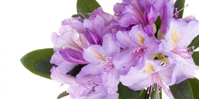 Azalee in casa fiorite a lungo