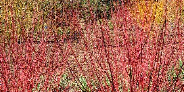 Corniolo: l'arbusto in vaso decorativo in autunno
