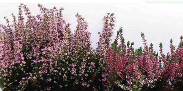Eriche e Callune per le fioriere invernali
