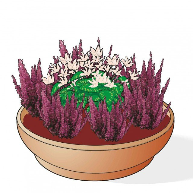 1. Con l'erica si possono creare splendide composizioni invernali in vaso: un ottimo accostamento è quello con i ciclamini, che richiedono stesso tipo di terreno, cure e medesime esigenze climatiche.