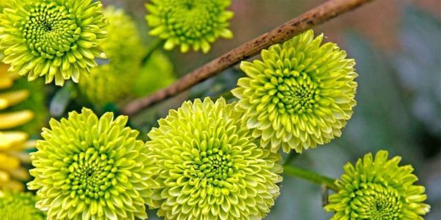 I crisantemi più belli