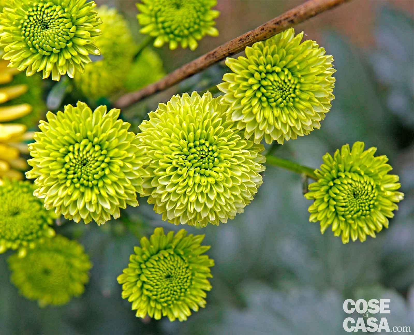 I crisantemi pi belli cose di casa - Dalia pianta ...