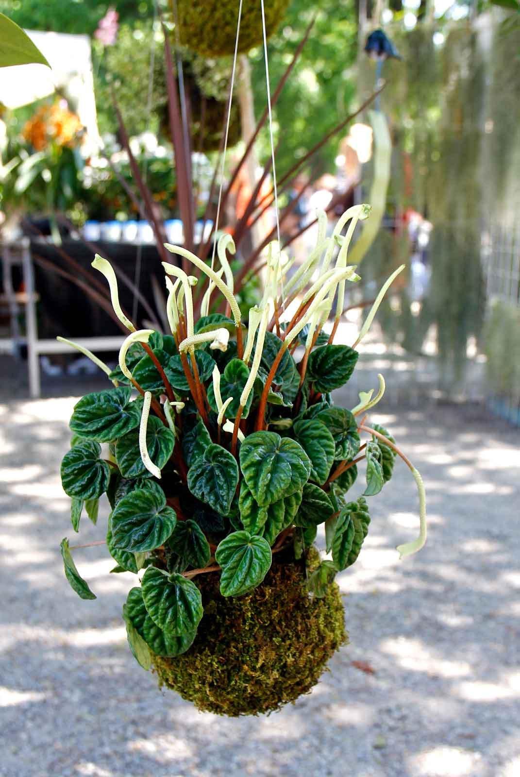 Soluzioni Per Il Giardino : Kokedama per chi ha poco spazio cose di casa