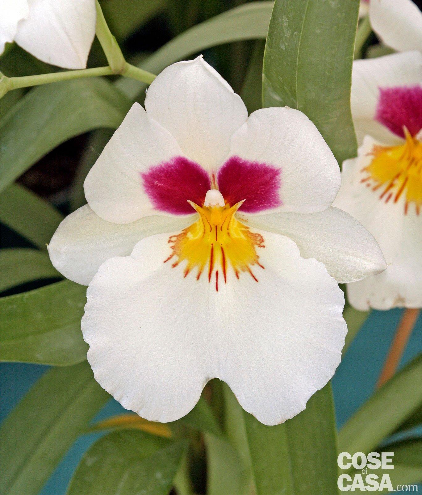 Orchidea Miltonia Cose Di Casa
