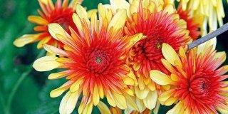Curare i crisantemi in piena terra