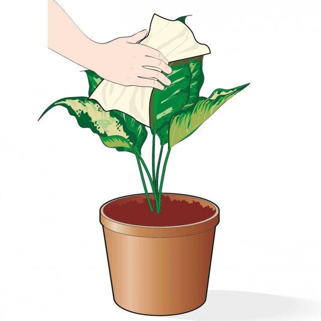 1. Con l'aumento delle temperature la polvere in casa si eleva in modo sensibile. Per aiutare la traspirazione dell'apparato aereo si passi un panno umido sulle foglie così da liberarne la superficie da ogni impurità.