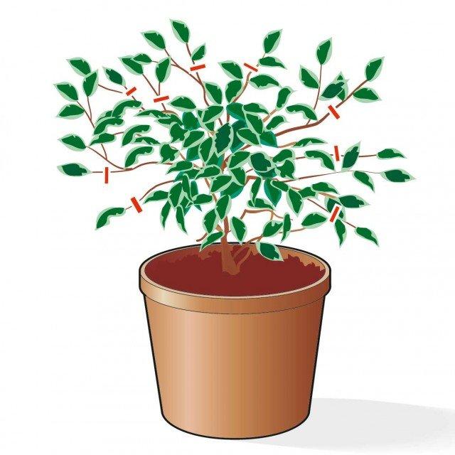 2. Le piante non vanno potate in inverno, vanno però sfoltiti i rami secchi, quelli storti o che presentano malattie, o ancora quelli che fuoriescono dalla chioma.