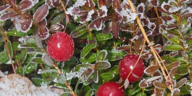 Le piante con le bacche, belle anche al freddo