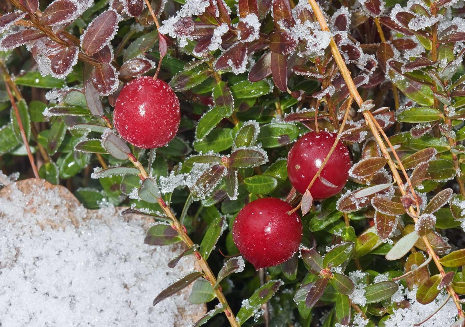 Albero Con Bacche Rosse le piante con le bacche, belle anche al freddo - cose di casa
