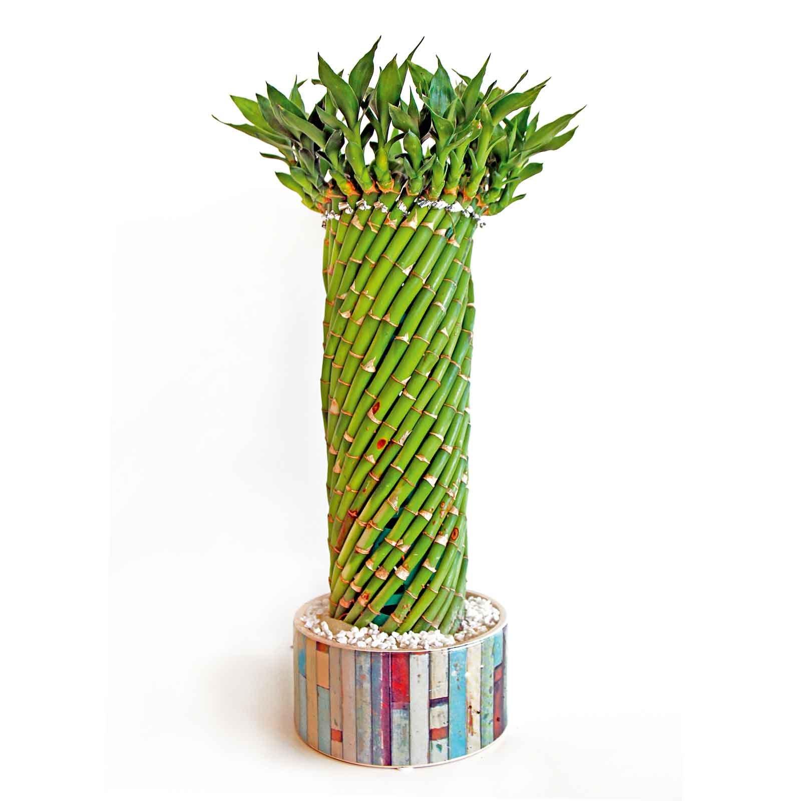 Otto piante da regalare a natale cose di casa - Bambu in vaso acqua ...