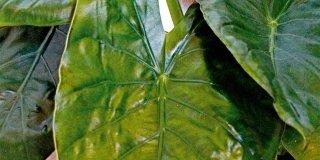 pianta alocasia