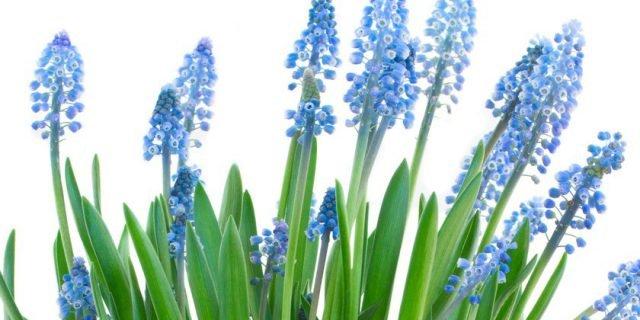 Forzare i bulbi: come farli fiorire in inverno