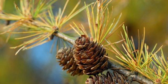 Riconoscere l'albero dalle pigne