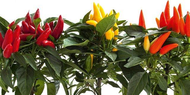 Peperoncini da coltivare tutto l 39 anno cose di casa for Acquisto piante peperoncino