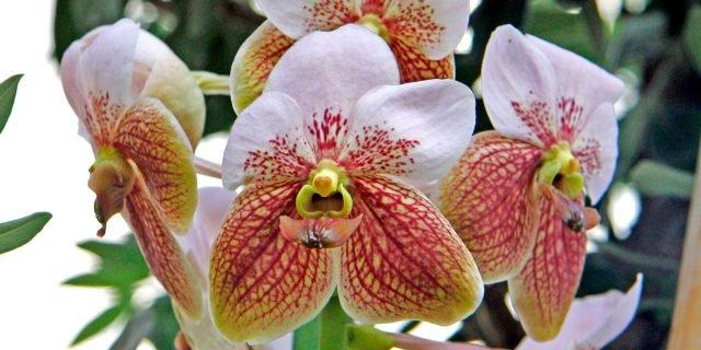 Curare le orchidee in casa