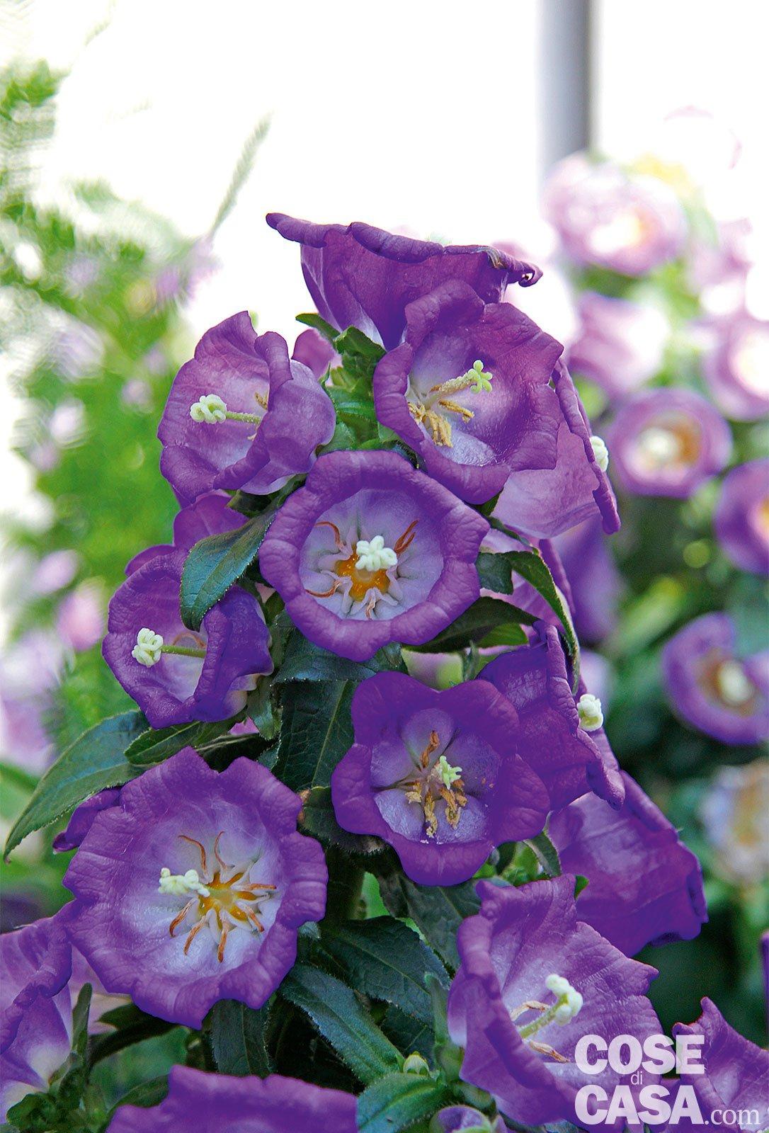 Fiori Campanelle Da Balcone le piante fiorite più belle da acquistare in febbraio - cose