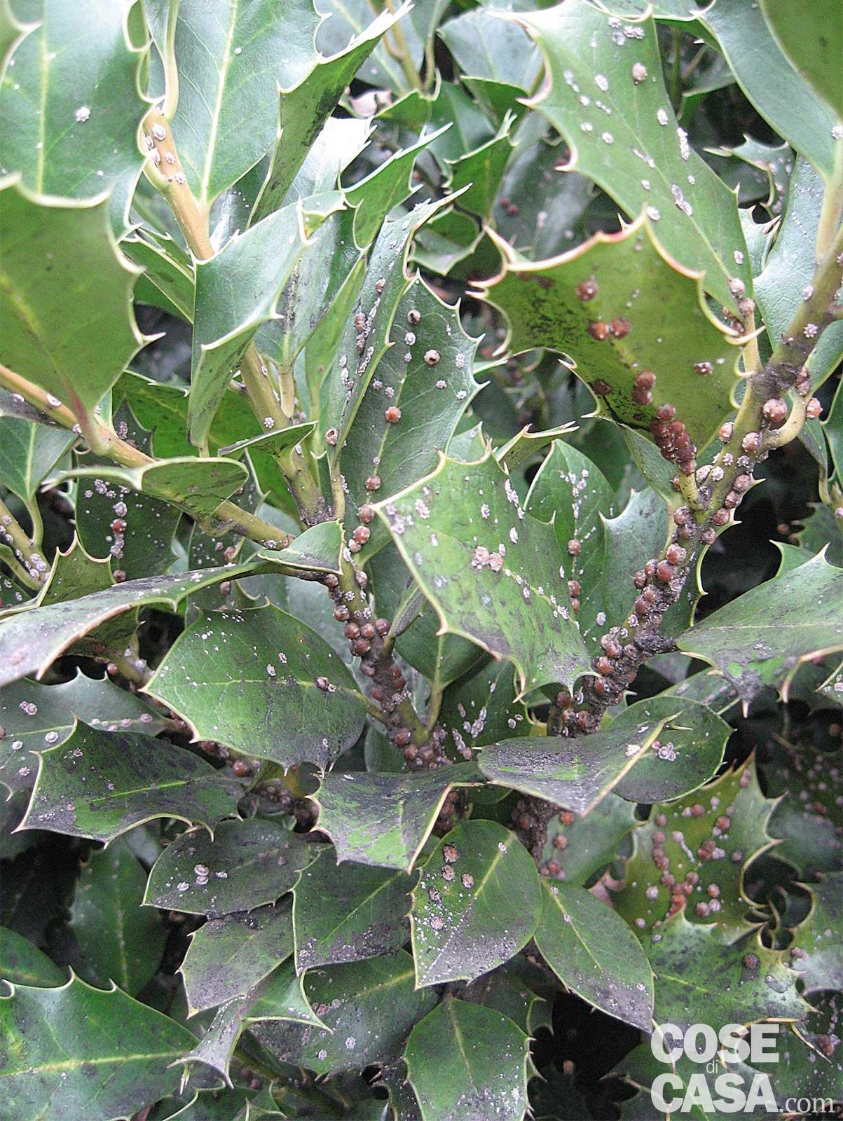 Lotta invernale ai parassiti delle piante cose di casa for Parassiti piante
