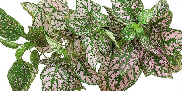 Moltiplicare per talea di foglia le piante da interni for Piante da interno piccole