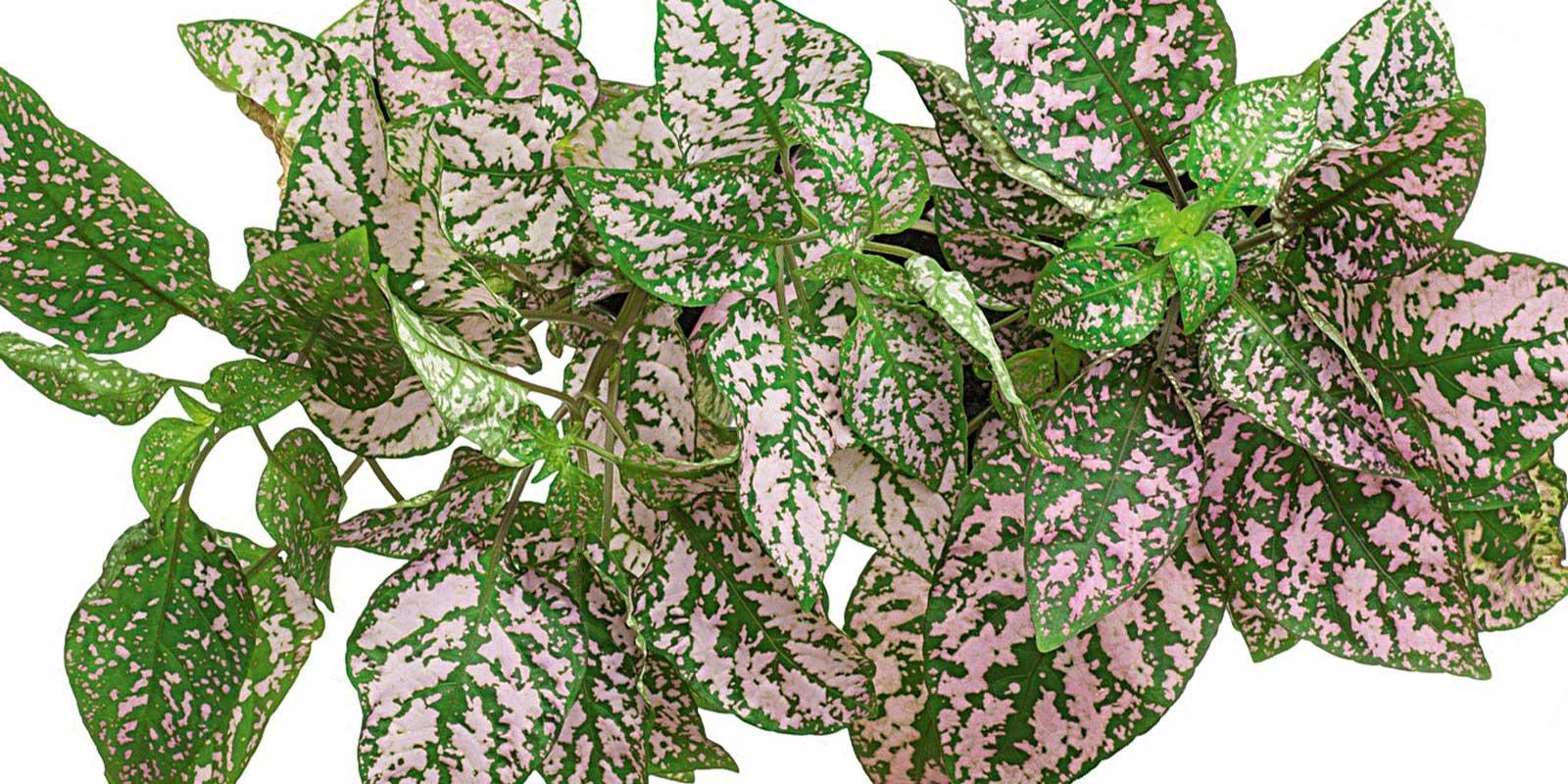 Moltiplicare per talea di foglia le piante da interni for Piante verdi da interno