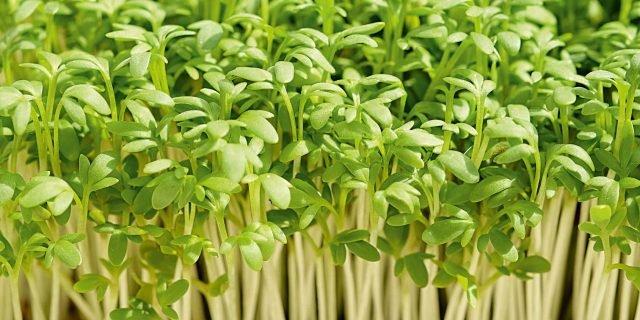 Seminare l'insalata nell'orto