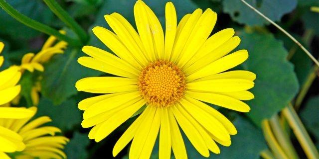 "Doronicum, la ""margherita"" gialla"
