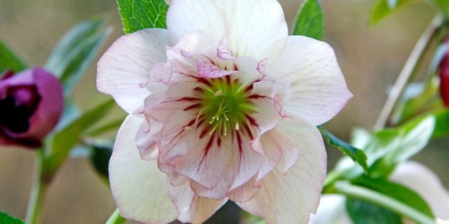 Helleborus orientalis 'Double Picotée' – elleboro