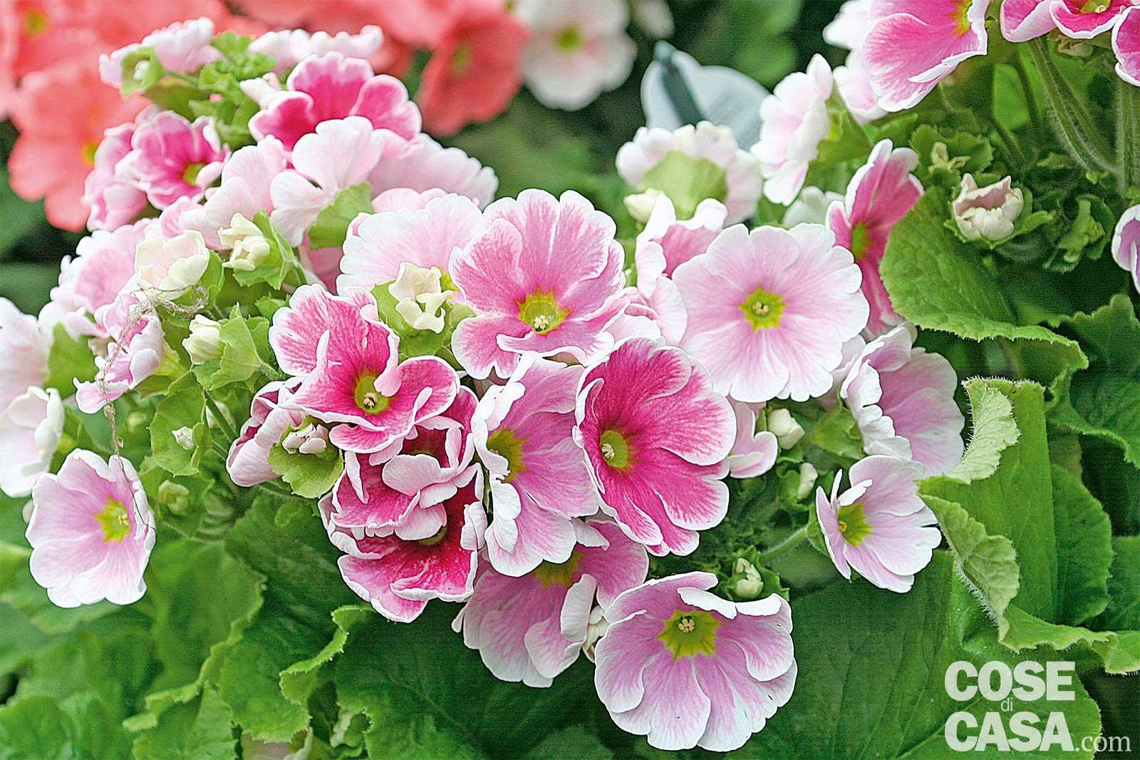 Le piante fiorite pi belle da acquistare adesso cose di for Piante invernali da esterno