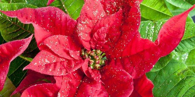 Le cure per la stella di Natale