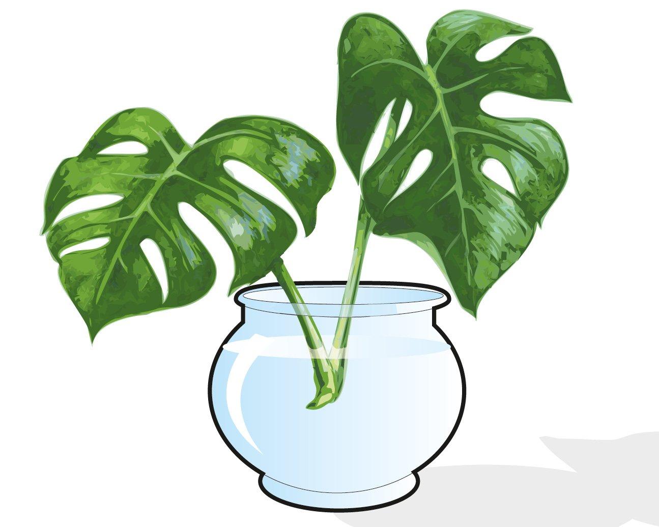 Moltiplicare per talea di foglia le piante da interni for Talea edera
