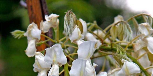 Glicine bianco