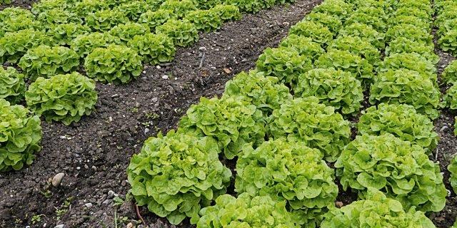 Seminare le insalate da taglio in modo scalare